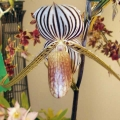 Paph. Bel Royal Adv.Grower Mike Wagner