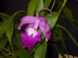 Notable plant Sobralia macrantha David Sparks