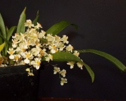 Oncidium Alliance 2nd Onc Twinkle Peter Blackstone