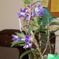 Den. victoriar-reginae Adv. Grower Mike Wagner