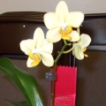 Phal. Little Emperor 2end Sue LeBonville