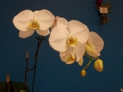 Phal.  hybrid 2end Suzy Massey