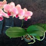 Tips for Selecting a Healthy Phalaenopsis Orchid