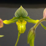 Yellow Paph