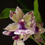 Zygonesia Snow Bird 'Kaila'